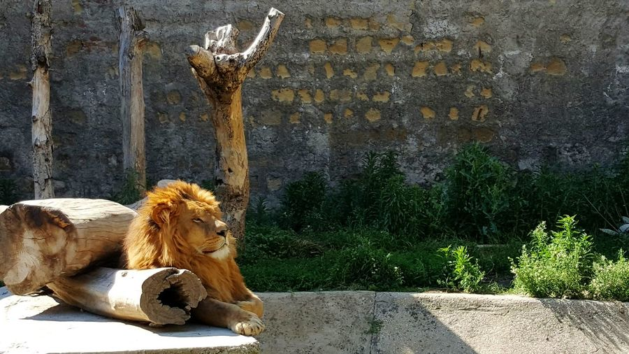 Lion Sitting By Log Of Wood