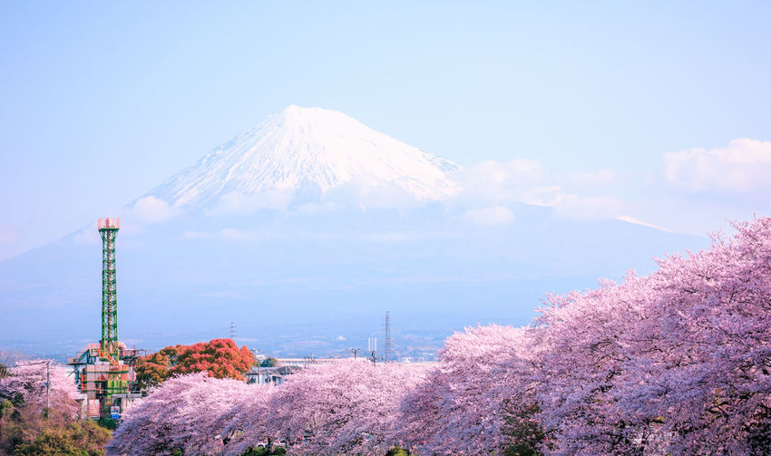 Mountain Beauty In Nature Scenics - Nature Nature Plant No People Tranquil Scene Tree Winter Tranquility Land Flower Outdoors Volcano Snowcapped Mountain Flowering Plant Cherry Blossom Mountain Peak Fuji Mountain Sakura Blossom Japan Photography