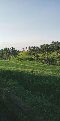 Jatiluwih Bali Bali Bali, Indonesia INDONESIA Indonesia_photography Jatiluwih Rice Terrace Jatiluwih Water Tree Rice Paddy Rural Scene Agriculture Field Tea Crop Crop  Sky Landscape Rice - Cereal Plant