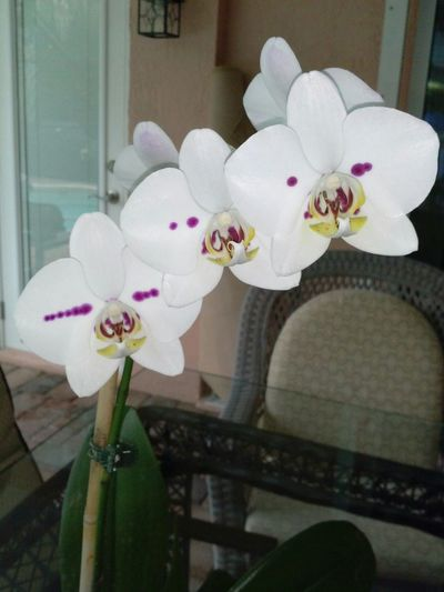 Orchids....fourth blooming year.