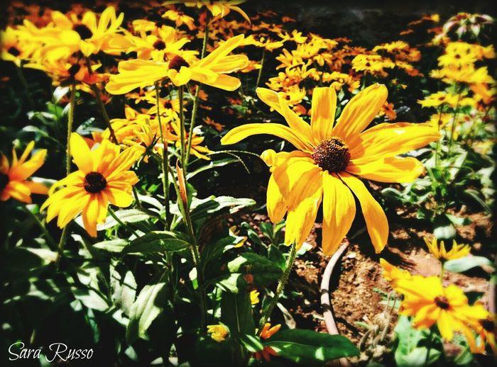 Flowers Malta Flower Garden Yellow Flower Keep Calm And Snap On Flower Photography Daisy
