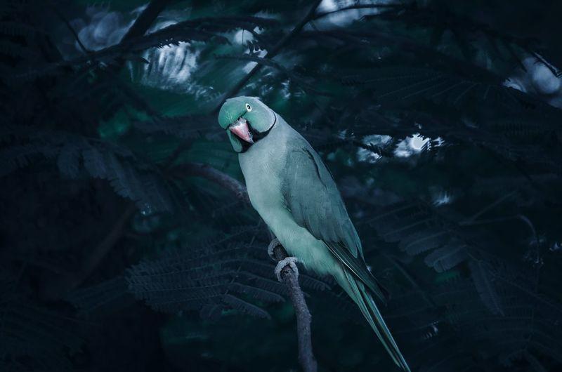 Parrot in lodhi gardens - new delhi - india