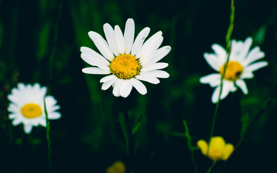 Walking in the meadows and the daisies and buttercups captured me. Daisies Life Meadow Flowers Beauty In Nature Close-up Daisy Day Flower Flower Head Flowering Plant Focus On Foreground Fragility Freshness Growth Nature No People Outdoors Petal Plant Pollen Reach Reaching Vulnerability  White Color Yellow