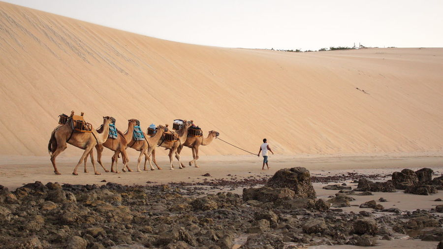 Man Walking With Camels At Desert