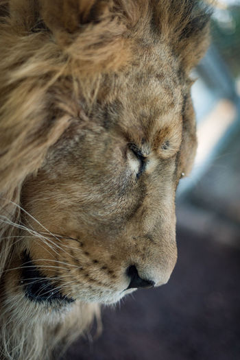 Close up portrait of an Asiatic Lion (Panthera leo leo) with eyes closed. Endangered Species Leo Lion Panthera Leo Leo Proud Animal Themes Big Cat Cat Close-up Focus On Foreground Lion - Feline Mane No People One Animal Portrait Predator Sleep Sleeping Sleeping Cat Strong Whisker