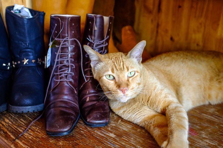 an orange tabby cat lying on the boots in the wooden shoe shelf Boots Animal Themes Cat Lovers Cat Photography Close-up Domestic Animals Domestic Cat Domestic Shorthair Feline Indoors  Looking At Camera Mammal No People One Animal Orange Tabby Pets Portrait Red Tabby Cat Wadrobe