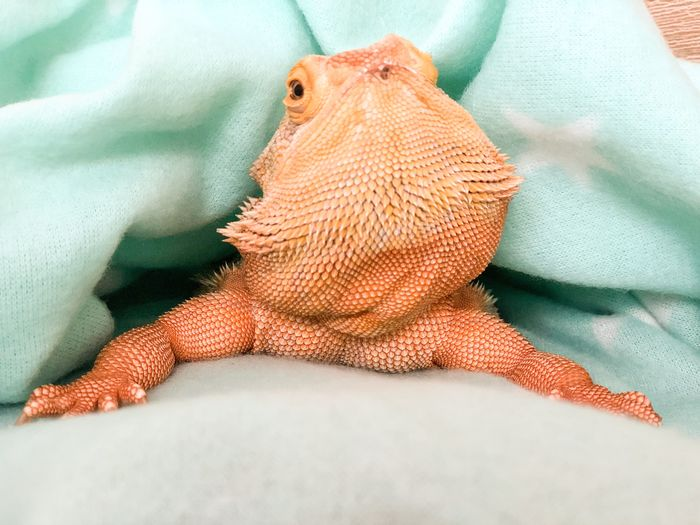Olga Love Pet Beardie Leatherback Bearded Dragon Bearded EyeEm Selects One Animal Textile Animal Themes Animal No People Indoors  Close-up Vertebrate Lizard Animal Body Part Reptile Blanket Pets Animal Representation Lying Down Orange Color Bed