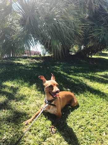 Mini Pinscher Mini Pincher Domestic Animals Dog Pets Canine One Animal Domestic