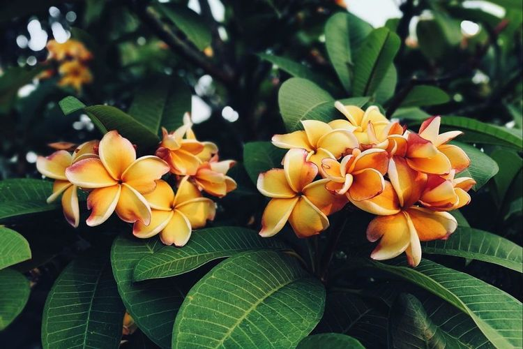 Plumeria 🌼 Leaf Flower Growth Green Color Freshness Plant Nature Petal Beauty In Nature Close-up No People Flower Head Day Outdoors Fragility