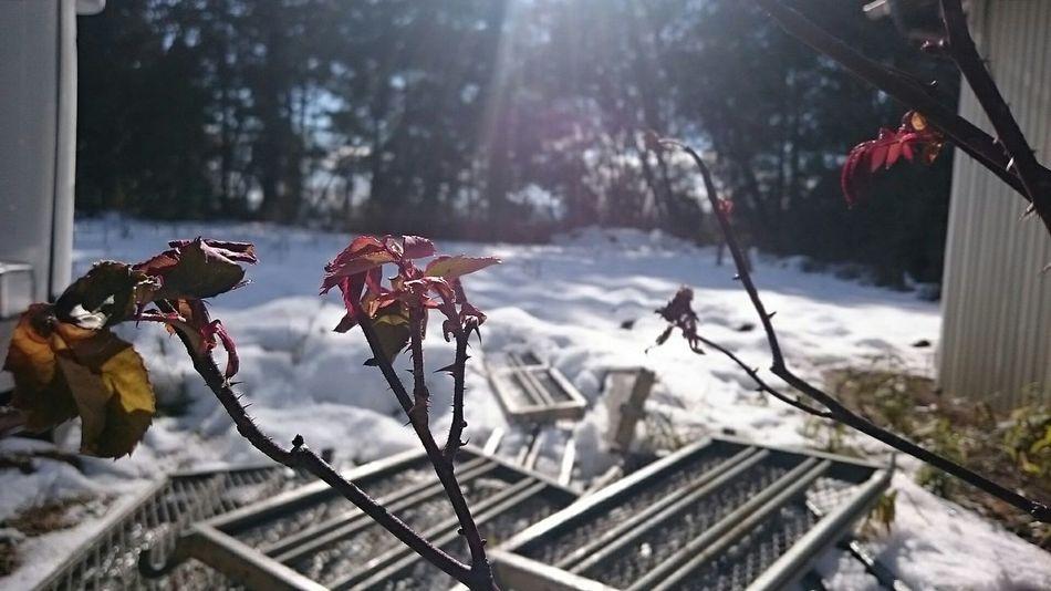 薔薇 枯れ葉 雪