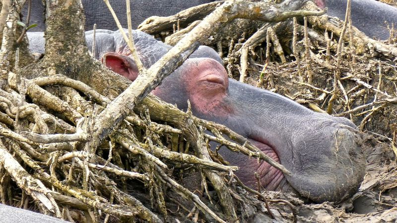 Flusspferd Flusspferde Hippo Hippopotamus Hippos Hippos In The Water Hippotamus  Nature Nilpferd Nilpferde South Africa Southafrica St Lucia St Lucia Wetland Park Südafrika Wildlife Wildlife & Nature Wildlife Photography