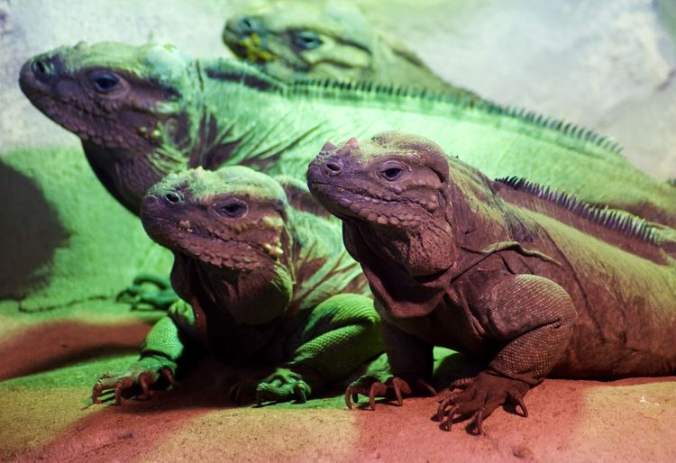 Animal Themes Animal Animal Wildlife Reptile Group Of Animals Vertebrate Animals In The Wild Lizard Two Animals Iguana No People Green Color Nature Day Close-up Togetherness Focus On Foreground Animals In Captivity Outdoors Animal Head