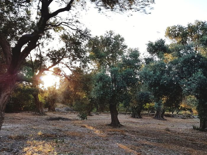 Samos Trees Olive Tree Nature Sunset Tree Sky Scenics Idyllic