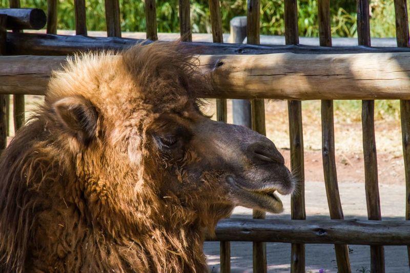 Close-up of bactrian camel looking away