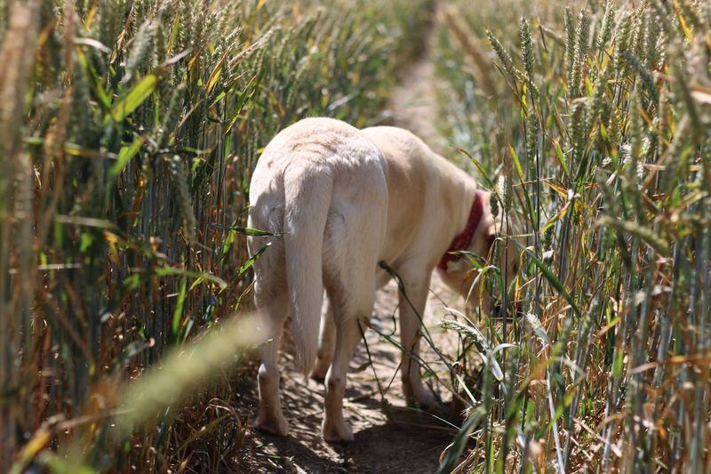 One Animal Animal Themes Mammal Grass Domestic Animals Field Livestock No People Nature Day Outdoors Growth Full Length Labrador Retriever Field Wheat Crop  Searching Sniffing Rear Pet Portraits Perspectives On Nature