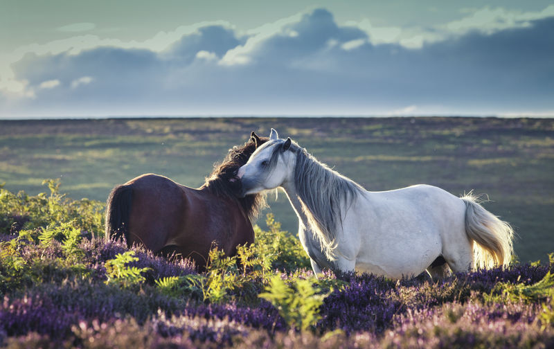 Wild Ponies in Heather Love United Kingdom Upland Animal Themes Beauty In Nature Cloud - Sky Day Fern Field Growth Horse Landscape Mammal Meadow Moor  Moorland Mountain Peak Mountains Nature No People Outdoors Sky Wild Horses Wildlife