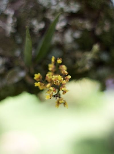 little yellow Brazilian native orchid Orchid Yellow Flower Beauty In Nature Blooming Brazilian Close-up Day Flower Flower Head Fragility Freshness Growth Nature No People Outdoors Plant Selective Focus Tree Yellow This Is Latin America