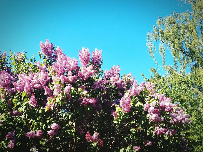 Flower Blossom Pink Color Nature Botany Beauty In Nature Tree Springtime Plant No People Day Sky Outdoors Scenics Fragility Growth Clear Sky Freshness Branch Flower Head