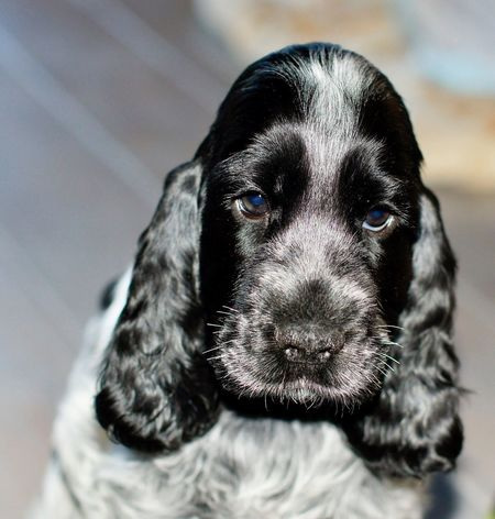 Puppy Cocer_spaniel