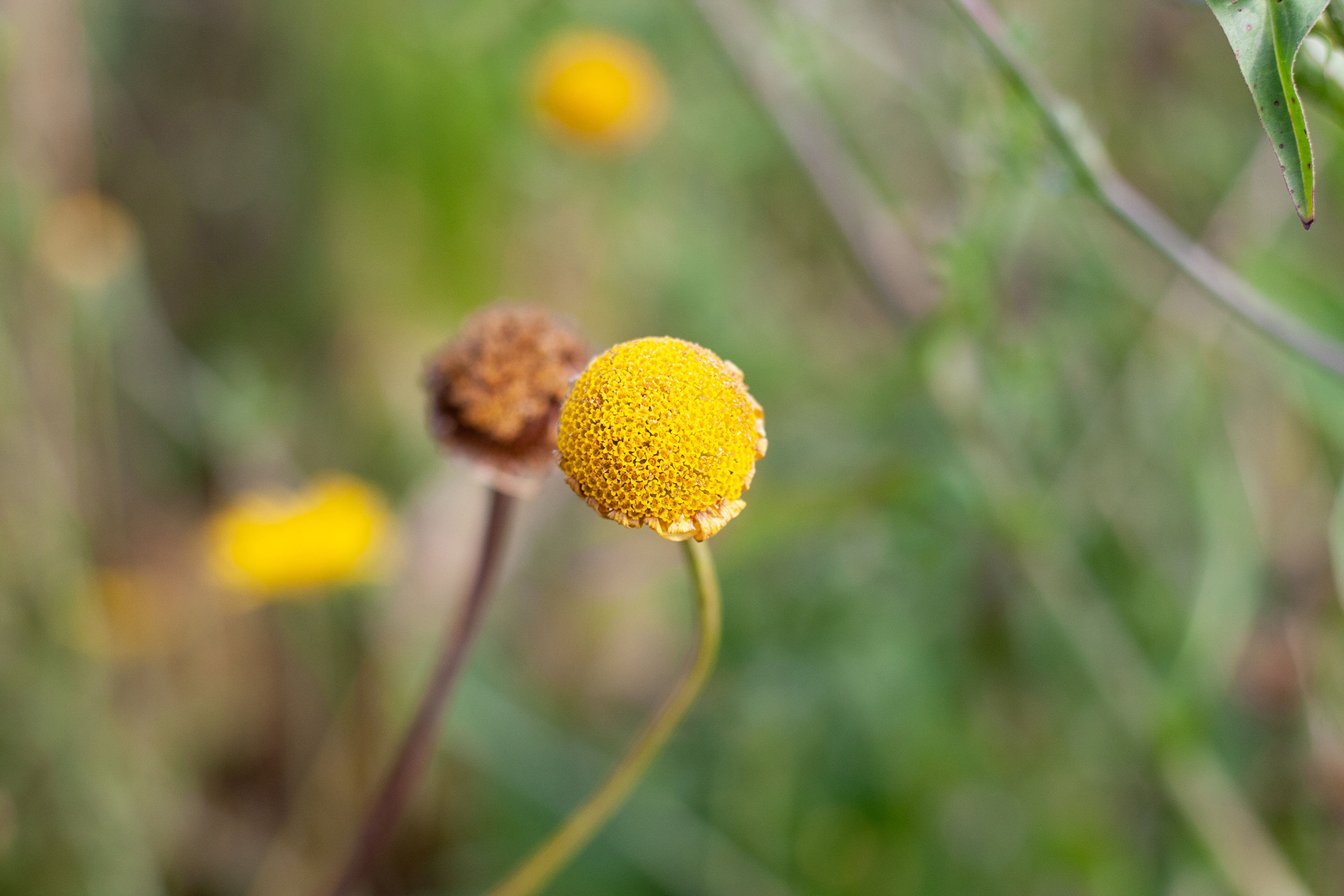 flower, flowering plant, growth, beauty in nature, plant, close-up, freshness, focus on foreground, fragility, vulnerability, inflorescence, flower head, yellow, nature, day, no people, selective focus, plant stem, field, outdoors, pollen, softness