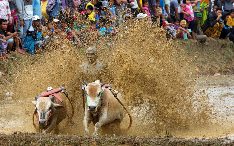 Tradition mud cow racing sport Pacu Jawi with spectator crowd. Adult Animal Themes Cattle Celebration Cow Racing Cows Crowd Cultures Dirty Domestic Animals Event INDONESIA Large Group Of People Livestock Mammal Outdoors Pacu Jawi People Spectator Event Spectator Sport Splash Sumatra  Traditional Festival Traditional Sport Weekend Event