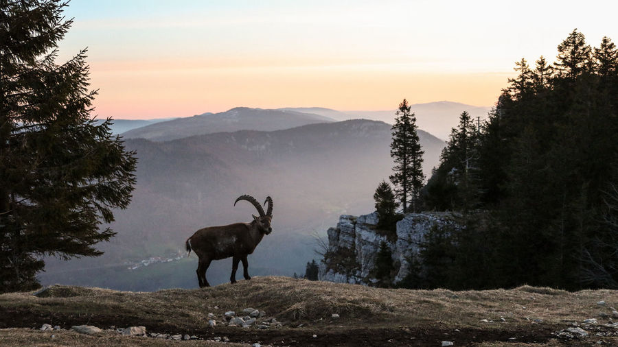 Deer standing against mountain range during sunset