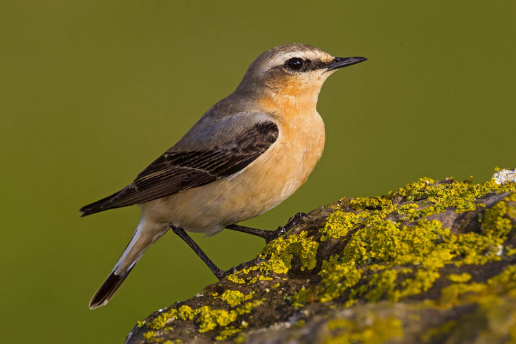 Northern Wheatear Collalba Gris Northern Wheatear Oenanthe Oenanthe Steinschmätzer Traquet Motteux Animal Themes Animal Wildlife Animals In The Wild Beauty In Nature Bird Close-up Day Nature No People One Animal Outdoors Perching Wheatear
