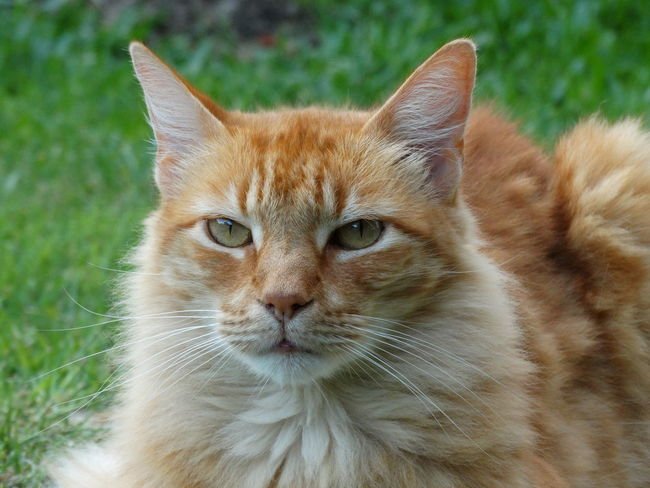 Pets Domestic Cat Feline Mammal One Animal Portrait Domestic Animals Looking At Camera Animal Themes No People Close-up Outdoors Nature Day