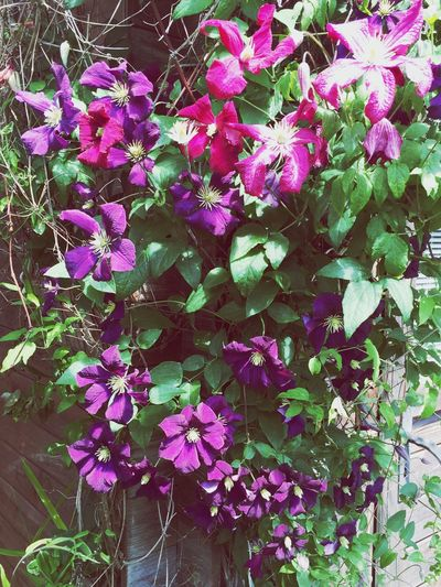 Garden Flowers My Garden Flower Love It Purple Purple Flowers Watching Summer Flowers Beautiful Proud