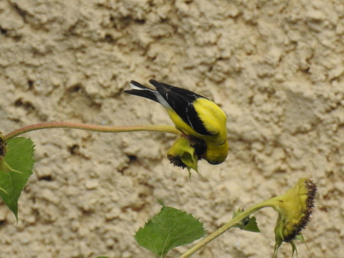 American Goldfinch.. stealing some sunflower seeds American Goldfinch Goldfinch Yellow Bird Birding Bird Photography Bird Watching Bird Eating Sunflower Photography Yellow Perching Close-up Animal Themes Plant Green Color Sunflower Flower Head Symbiotic Relationship Blooming Pollination Petal