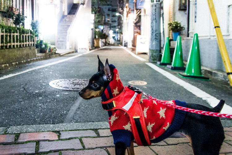 Alley Animals Atmosphere Capture The Moment Cute Pets Dog Enjoying Life Fresh On Eyeem  Miniature Pinscher Night Night View Nightphotography Perspective Snapshots Of Life Street Photography Walking The Dog Hello World On The Way Tokyo Japan Backstreets & Alleyways Outdoors Lifestyles The Street Photographer - 2017 EyeEm Awards Let's Go. Together. Pet Portraits