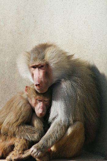 Intimacy between monkeys