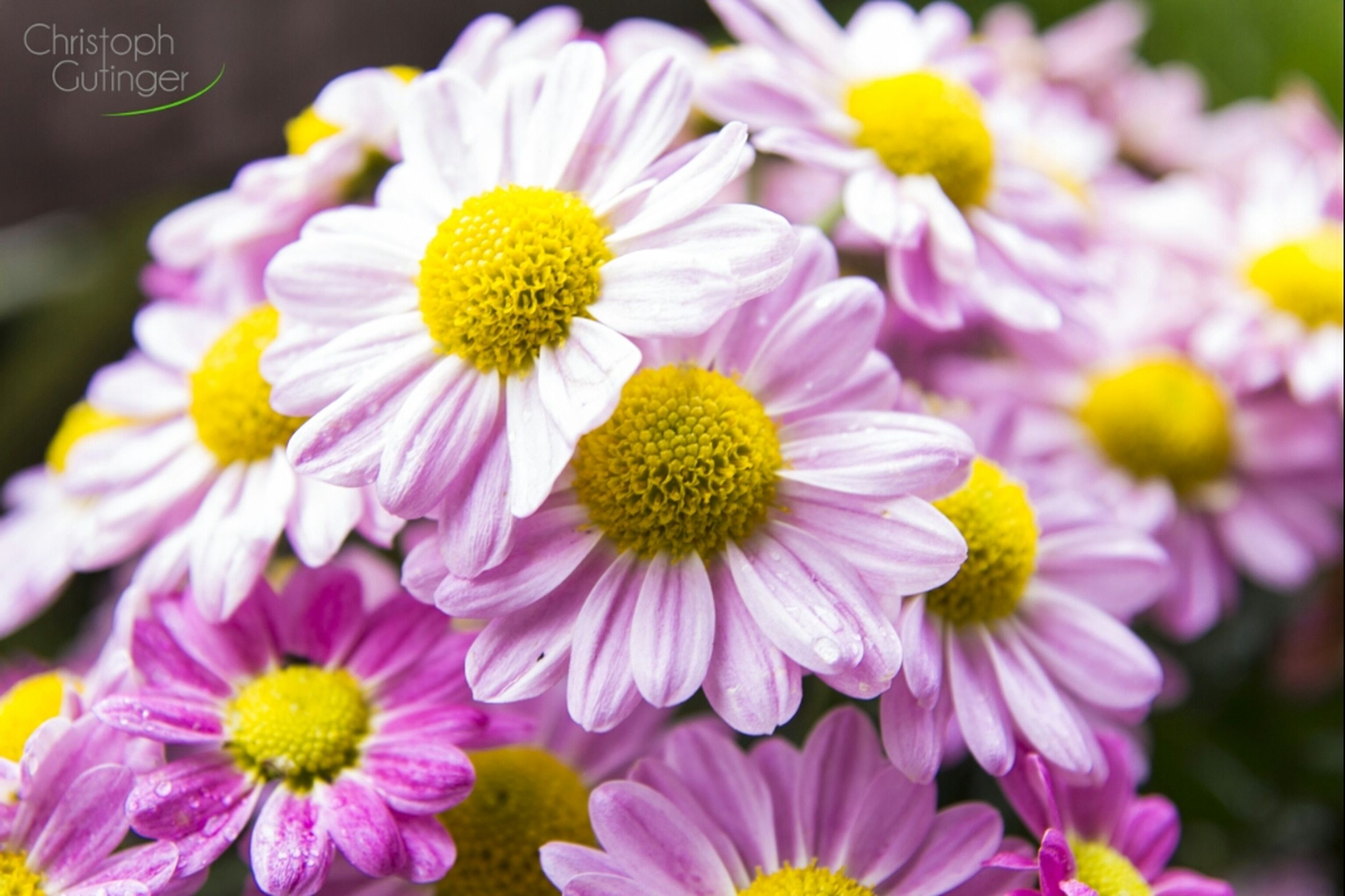 flower, freshness, petal, fragility, flower head, yellow, beauty in nature, close-up, growth, focus on foreground, blooming, nature, pollen, in bloom, pink color, high angle view, plant, selective focus, day, stamen