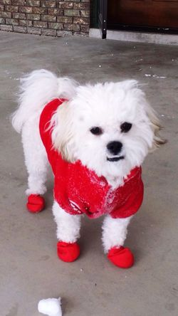 Huey in is snow gear Check This Out Cute Cute Pets Puppy Animals Love Cheese! Bichonfrise