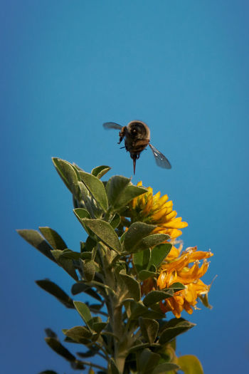 Bee pollinating on sunflower against blue sky