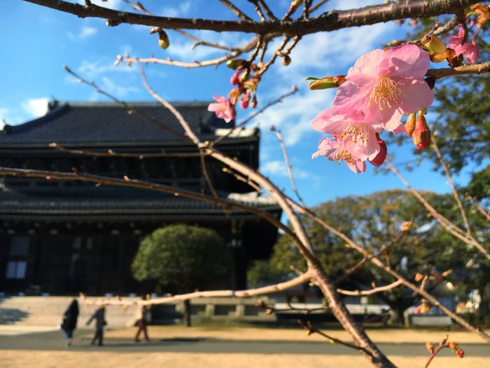 Cherry Blossoms Temple Spring
