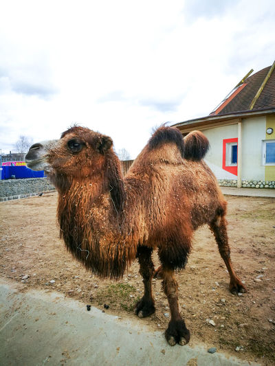Animal Themes Architecture Belarus Building Exterior Built Structure Camel Cloud - Sky Day Domestic Animals Huawei Huawei P9 Leica HuaweiP9 Huaweiphotography Livestock Mammal Minsk Nature No People One Animal Outdoors Sky Standing Zoo Zoo Animals  Zoology