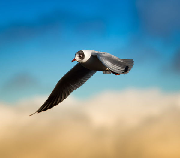 Low angle view of black-headed gull flying against sky