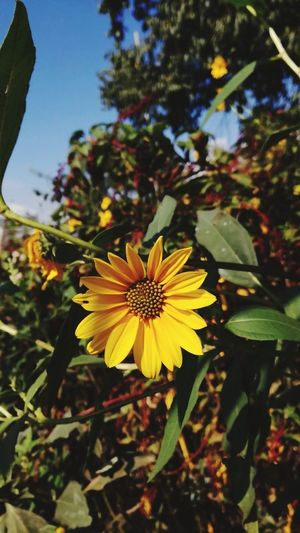 Paint The Town Yellow Yellow Flower Plant Petal Flower Head Freshness Nature Beauty In Nature Topinambur