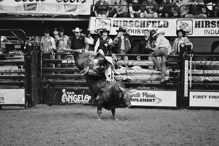 Black And White Collection! Bull Riding/rodeo Eyeemphotography EyeEm Gallery San Angelo Texas Black & White Photography Rodeo Texas Photographer This Week On Eyeem Rodeotime Livestock Animal Themes