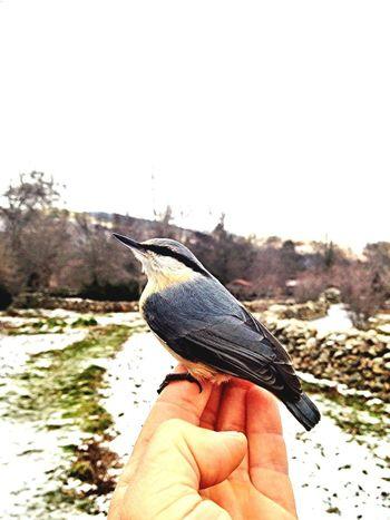 Mejorando.....  #trepadorazul #vallelozoya #birds #faunaautóctona