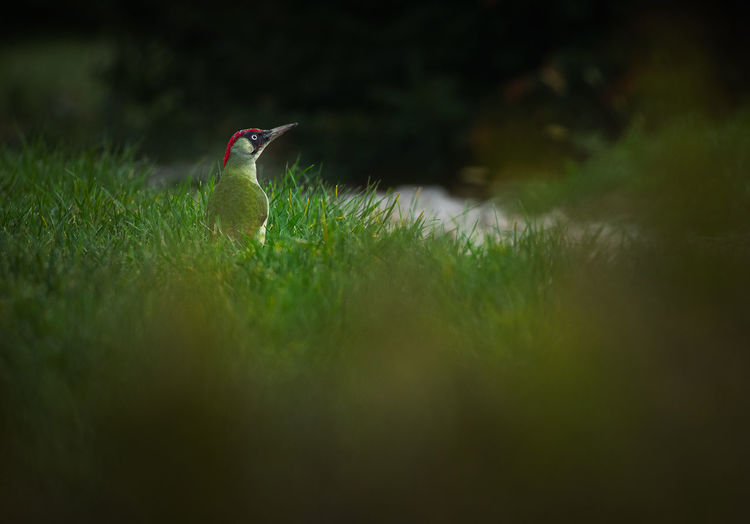 A wild green woodpecker in the grass.
