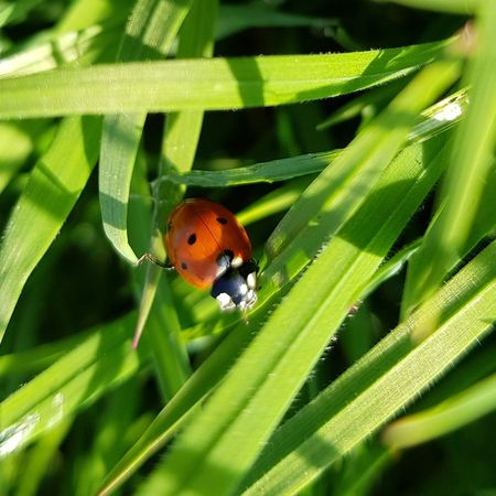 Ladybird Ladybug Leaf Insect Close-up Animal Themes Plant Green Color Grass