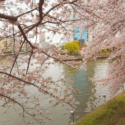OSAKA Osakacastle Sakura Cherryblossom Japan