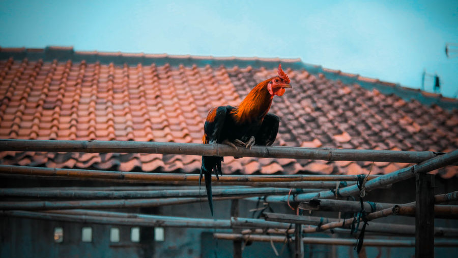 Low angle view of rooster perching on railing