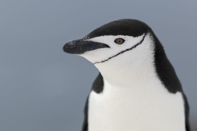 Close-up of penguin against clear sky