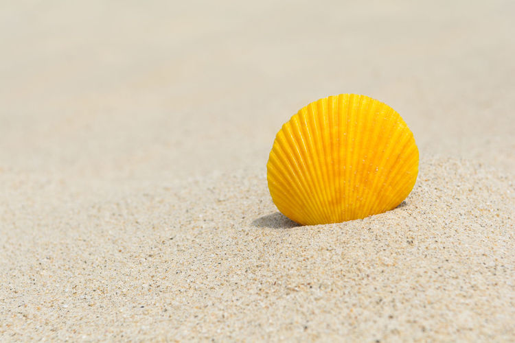 Yellow scallop in the sand, close up Beautiful Freshness Natural Summertime Travel Vacations Beach Close-up Coast Copy Space Detail Dune Marine Nature Sand Scallop Seashell Selective Focus Shell Simplicity Spa Summer Tropical Vibrant Color Yellow