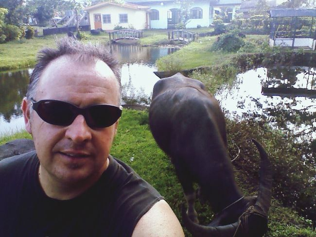 Walking the water buffalo. Legazpi City Philippines Animals