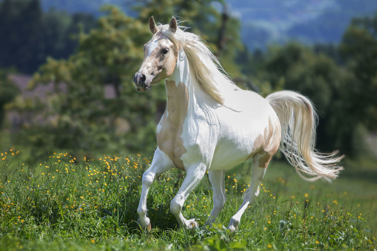 EyEmNewHere Animal Animal Themes Animal Wildlife Day Domestic Domestic Animals Field Focus On Foreground Grass Green Color Herbivorous Horse Land Livestock Mammal Nature One Animal Outdoors Painthorse Pets Plant Vertebrate White Color