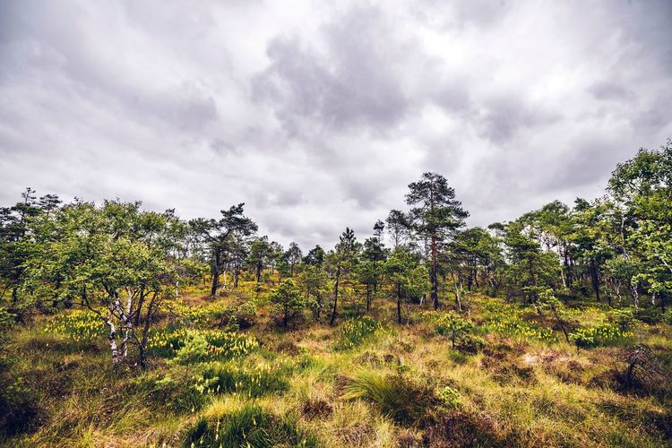 Landscape in cloudy weather with large trees in the wilderness Cloudy Wilderness Scandinavia Cloud - Sky Sky Plant Growth Nature Tree Beauty In Nature Scenics - Nature Outdoors No People Tranquility Land Landscape Low Angle View Overcast Tranquil Scene Field Day Environment